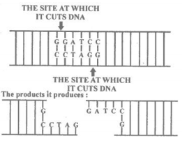 NCERT Solutions Class 12 Biology Chapter 11 Biotechnology