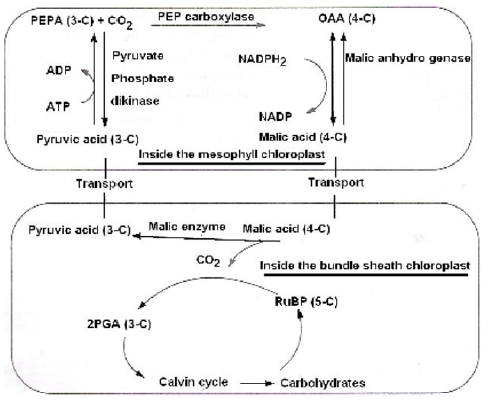 NEET Biology Photosynthesis Chapter Notes-14